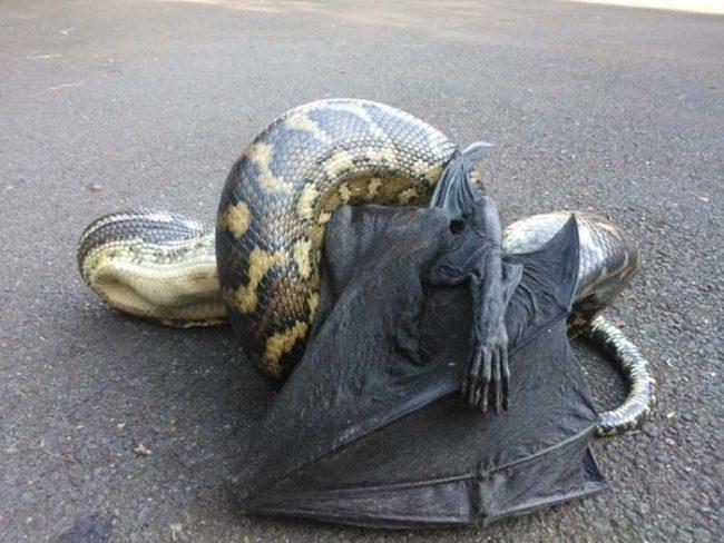 7. Гигантская летучая мышь стала обедом гигантской змеи.