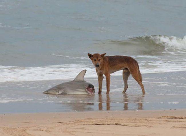 8. Австралийская собака Динго поедает акулу.