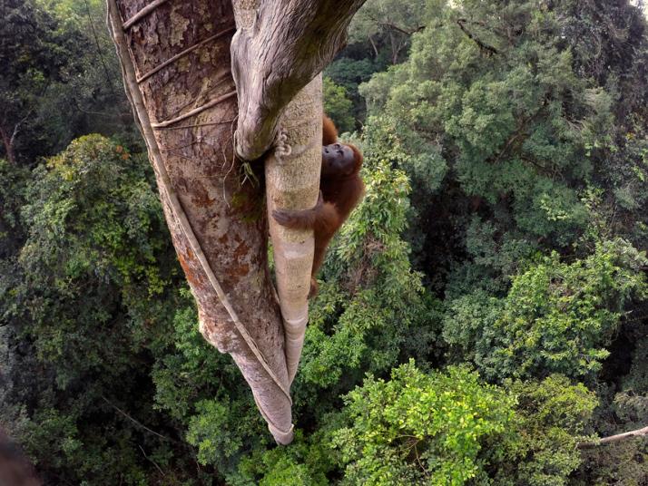 9. Категория «Природа. Истории». Орангутанг взбирается на 30-метровое дерево в тропическом лесу в Гунунг, Борнео. Фото: Тимом Ламана.