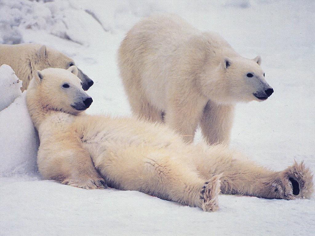 34. Международный день полярного медведя.