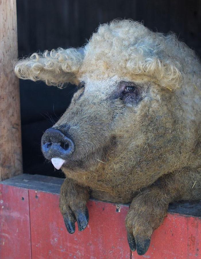 2. Эта порода свиней очень дружелюбна и их можно держать в качестве домашних любимцев, если вас не смущают их размерчик.