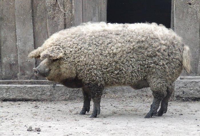 3. Густая волнистая шерсть придает им сходство с домашними овцами.
