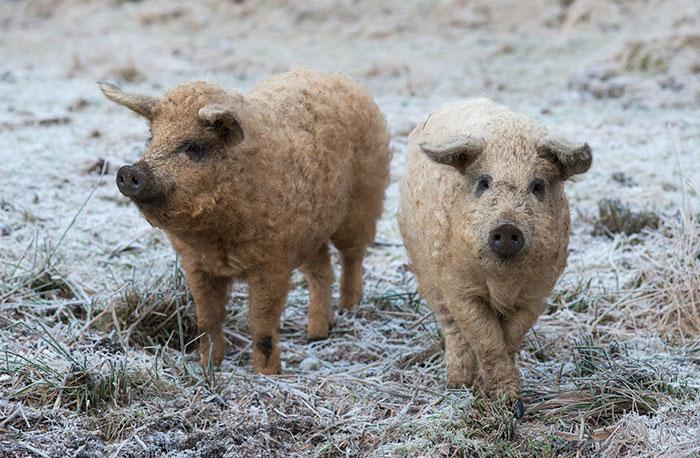 8. Эта венгерская порода свиней могла полностью исчезнуть, но была спасена в 1989 году генетиком Питером Тотом.