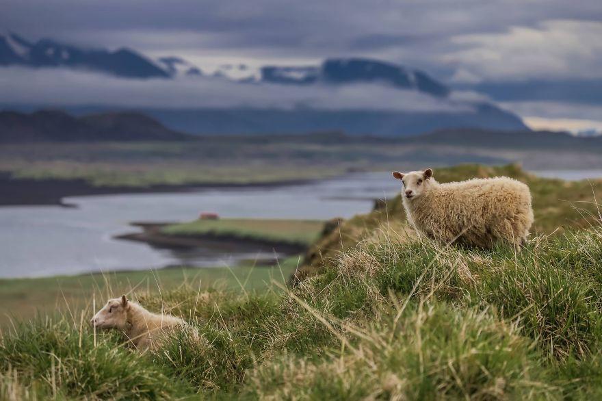 12. «Фотографировали диких овец в Исландии».