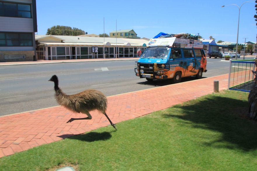23. «Например, этого страуса эму, который пытался обогнать наш автомобиль».