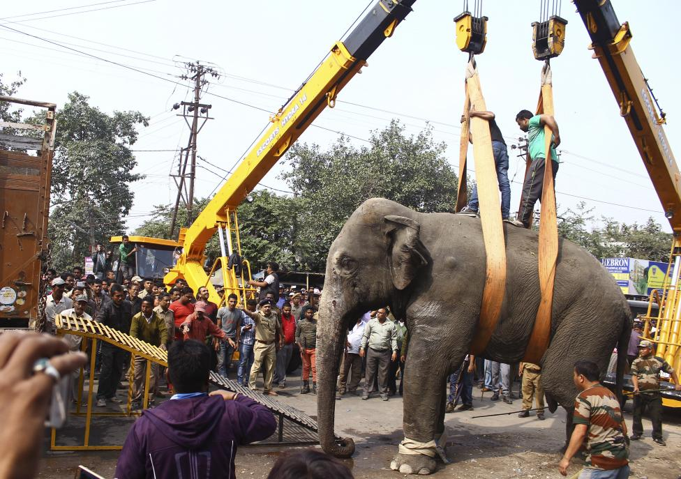 4. Спящего слона погрузили с помощью крана в грузовик, чтобы перевезти в специальный парк, где живут его одомашненные сородичи. В скором времени слона планируют вернуть в лес.