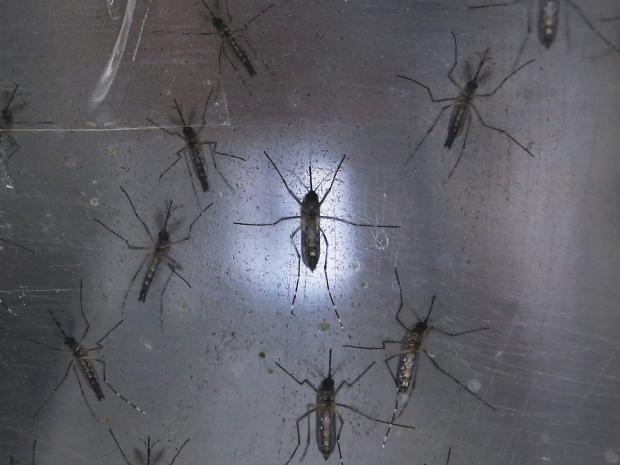 6. Aedes Aegypti или комар желтолихорадочный – переносчик вируса Зика. По данным ВОЗ, вирус вероятнее всего уже распространяется по Америке.