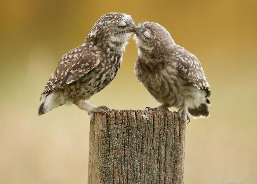 11. Совы тоже целуются!