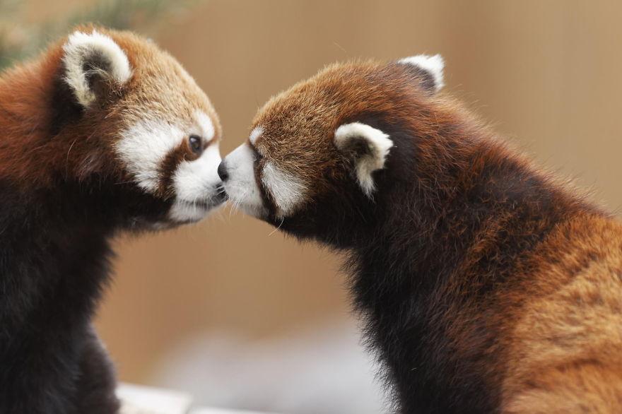 8. Маленькие панды.