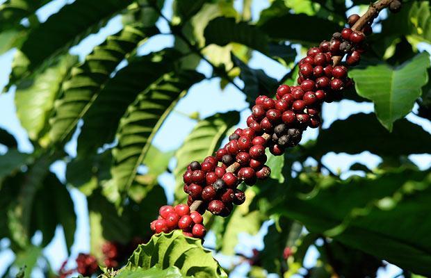 1. Вот такие простые кофейные зерна превращаются в копи-лувак. Цена кофе варьируется от 100 до 600 долларов за 50 грамм.