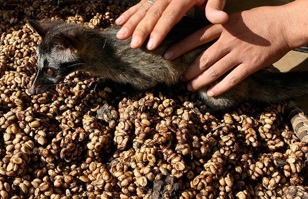 6. Циветта очень любит есть кофейные зерна. Считается, что зверек поедает только самые лучшие кофейные плоды и самые вкусные. Кофейные ягоды проходят через пищеварительный тракт циветты, теряя при этом свой верхний слой в процессе пищеварения. Предполагается, что процесс пищеварения разрушает белки, которые дают обычному кофе его горький вкус. При этом особые ферменты наполняют зерна другим вкусом, которые раскрывается в процессе варки кофе.