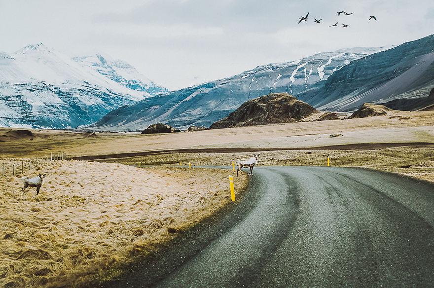 4. На дорогах Исландии часто можно увидеть оленей.