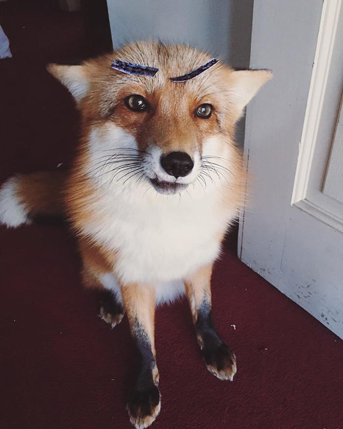 8. «Растить лису очень сложно. Лисицы шумные, непоседливые и не очень приятно пахнут».