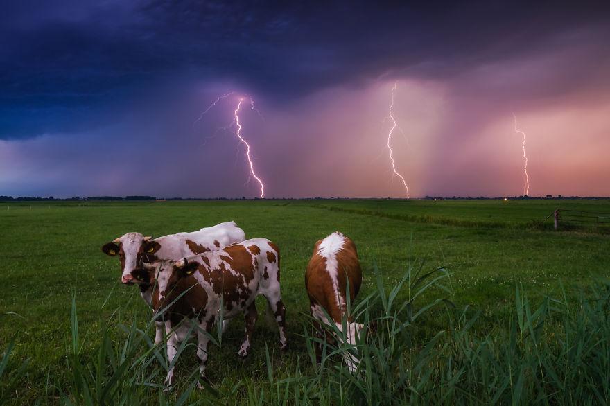 13. Коровы и гроза.