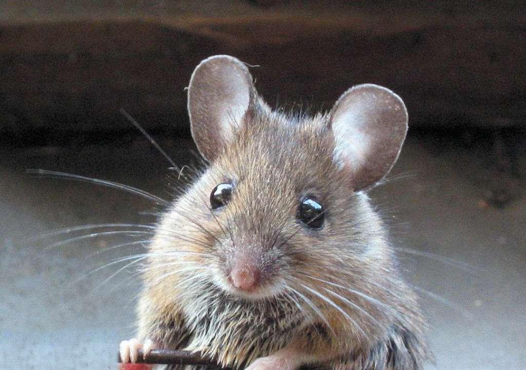 8. Лечение мертвыми мышами.