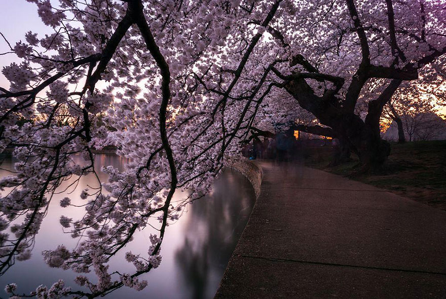 13. Тоннель из цветущей вишни.