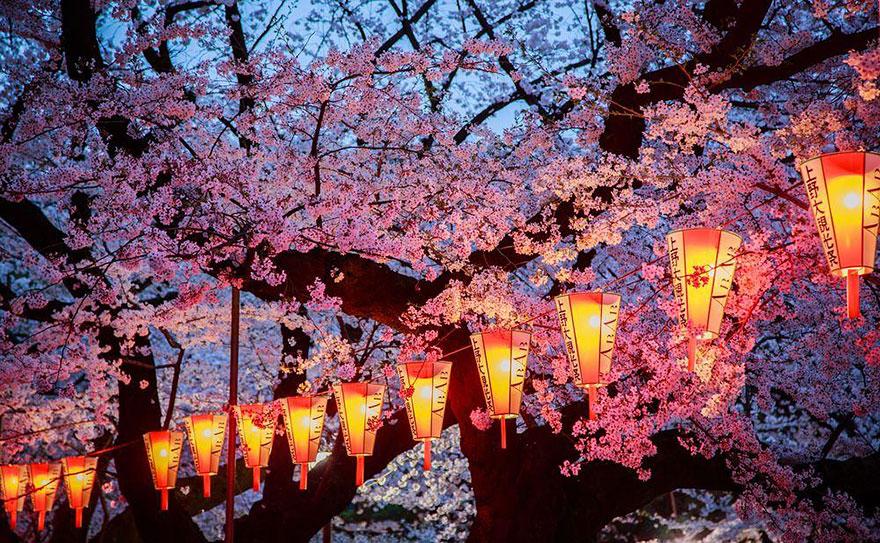 4. Вечернее цветение вишни.