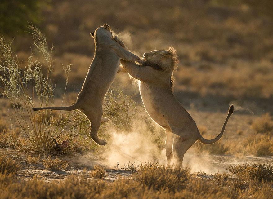 36. «Момент столкновения», Национальный парк Кгалагади, ЮАР.