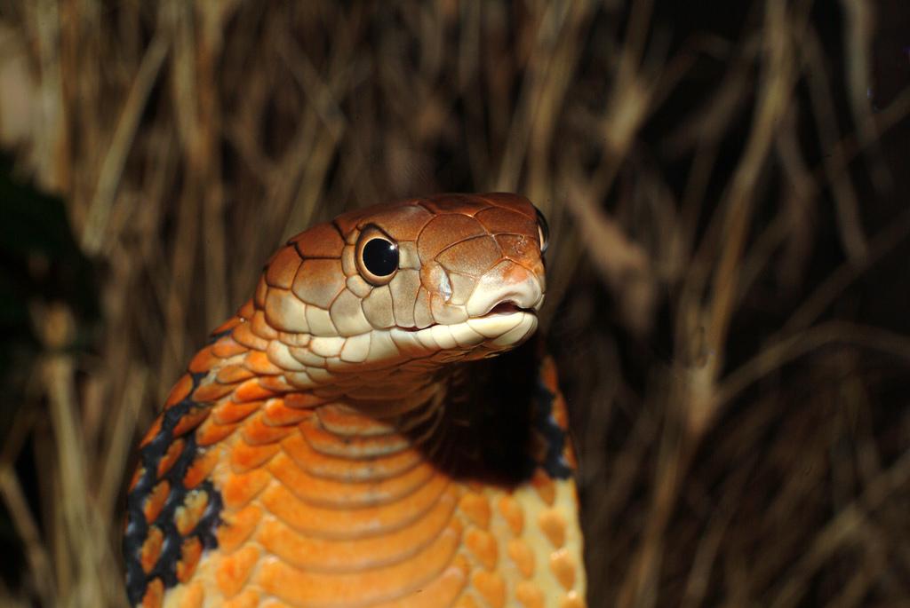 14. Несмотря на название, яд королевской кобры не самый сильный среди змей, но он также может привести к печальным последтсвиям.