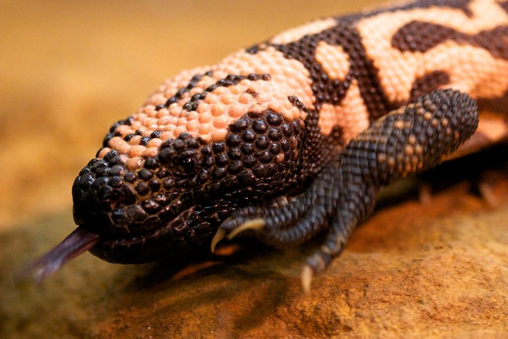 2. Аризонский ядозуб – одна из самых ядовитых ящериц. Укус не является смертельным для человека, но может вызвать сильную боль, пониженное давление и кровоизлияния.