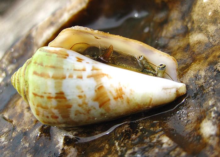 20. Яда моллюска конуса хватит чтобы убить 20 человек.
