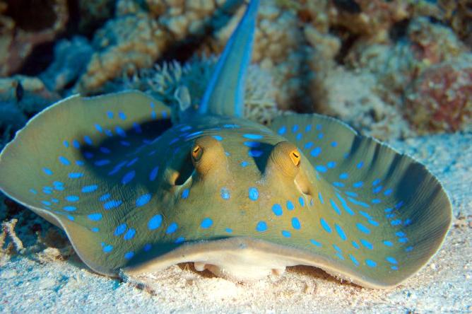 6. Пятнистый рифовый скат – самый ядовитый из всех скатов. Именно этот скат стал виновником смерти ведущего Стива Ирвина.