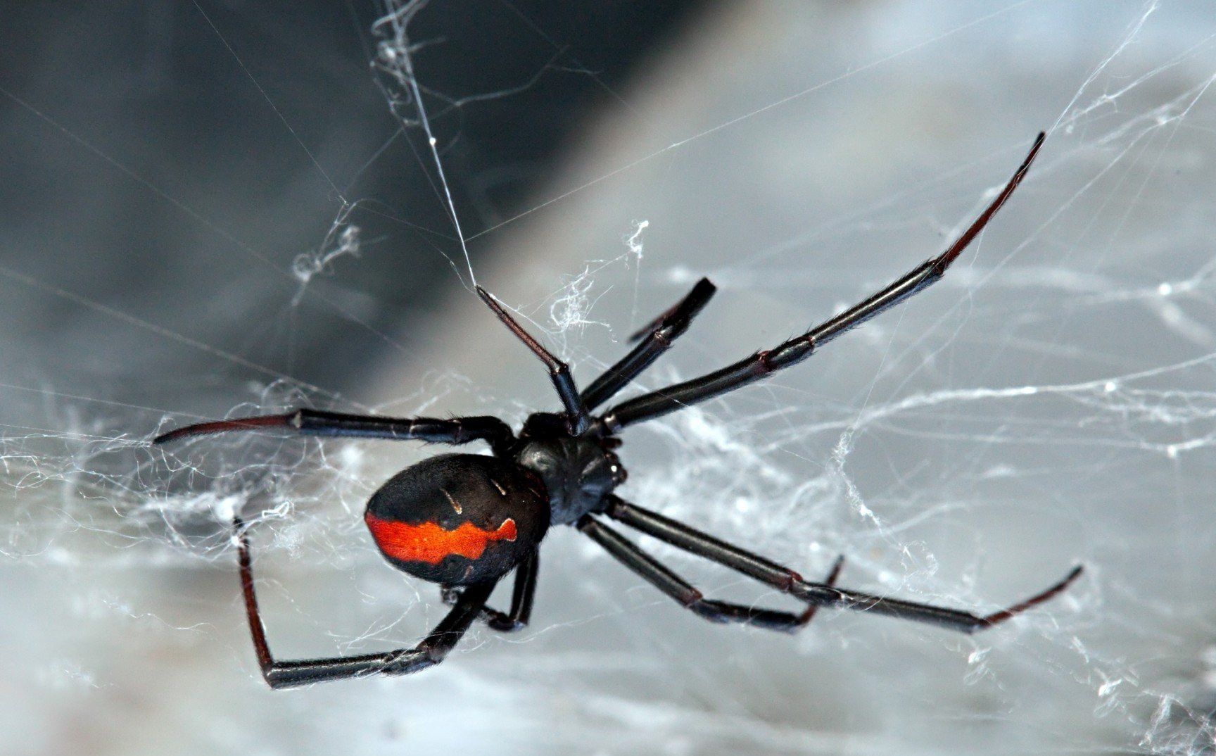 8. Самка черной вдовы имеет в своем распоряжении суперконцентрированный яд воздействующий на нервную систему жертвы. Яд вызывает сильную боль и может быть смертельным.