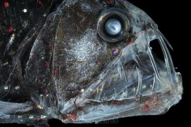 1. Этот монстр из рода хаулоидов. Хаулоиды обитают преимущественно на глубине, однако в ночное время могут плавать и ближе к поверхности.
