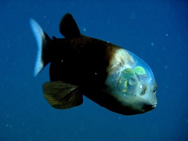 11. Опистопроктовые – похожие на инопланетян рыбы с прозрачной головой.