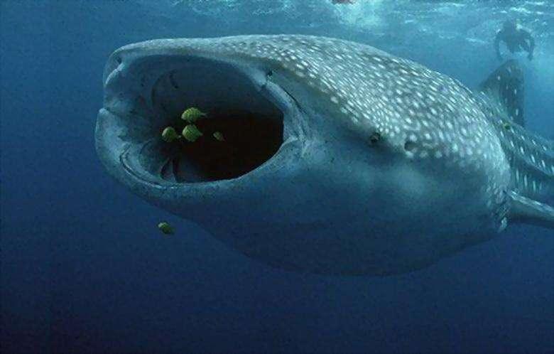 16. Пелагическая большеротая акула, впервые была обнаружена в 1976 году. 17. Рыба-капля однажды удостоилась звания самой уродливой рыбы в мире.