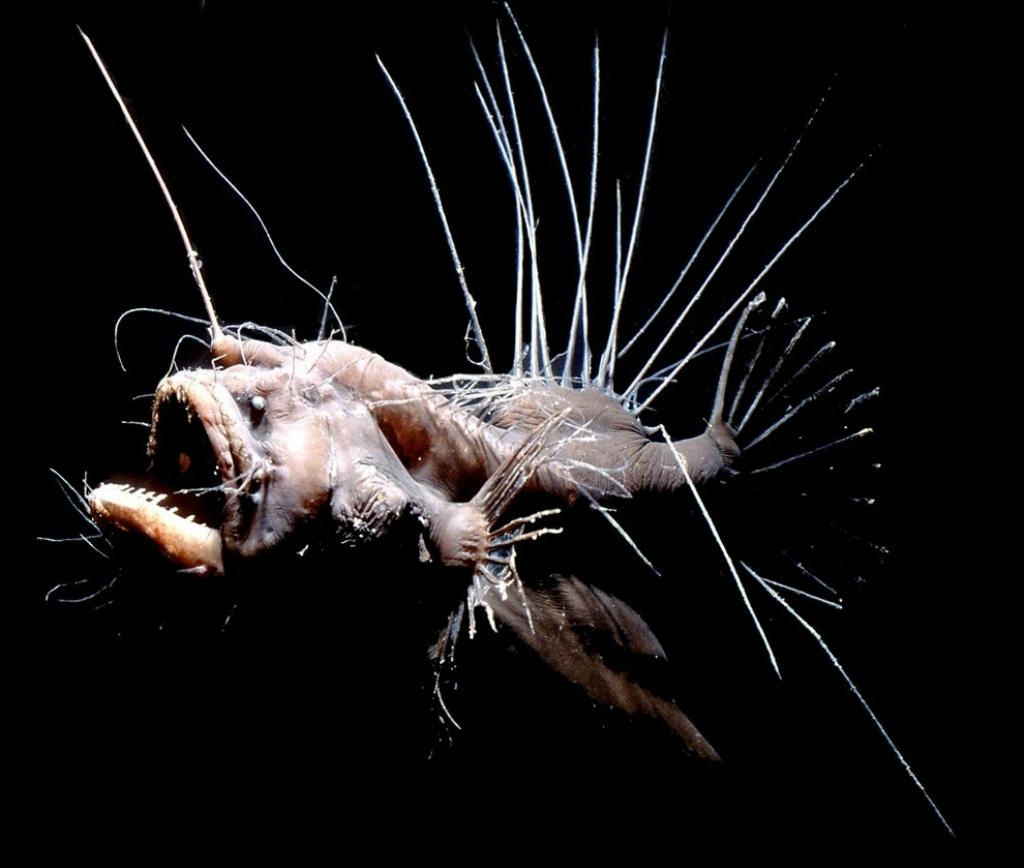 2. Удильщики имеют ужасающий вид. К тому же они почти полностью черные, что делает их незаметными в океанских глубинах.
