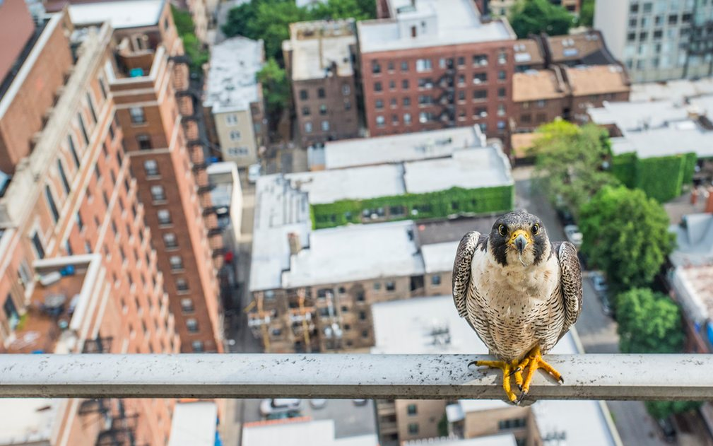 2. Люк Мэсси стал самым молодым экологическим фотографом 2016 года за свое смелое фото «Poser». Сапсаны были истреблены в штате Иллинойс в 60-х годах, но в 80-х началась программа по восстановлению популяции соколов.