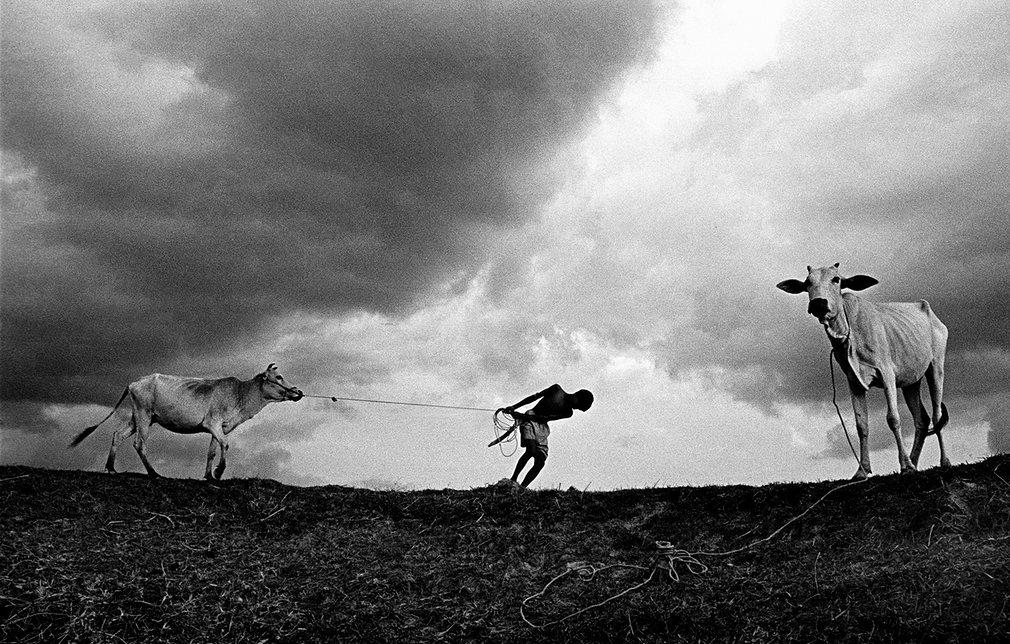 8. Мони Санкар. Истощенные коровы в Индии.