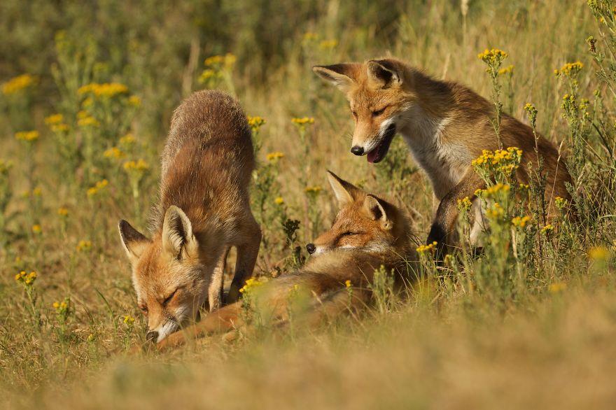 16. Семья лисиц ухаживает друг за другом.