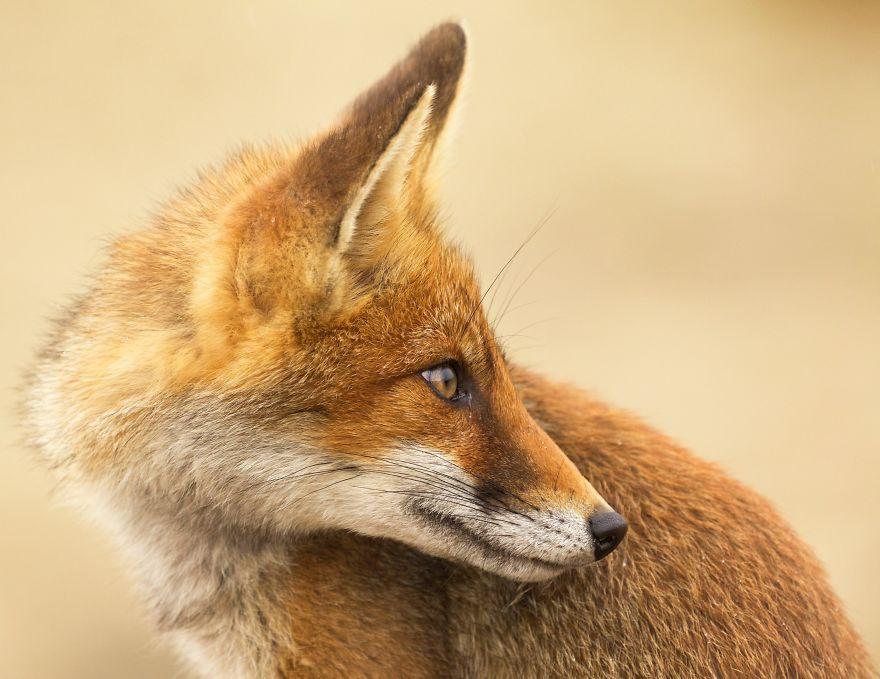 3. Портрет лисы.