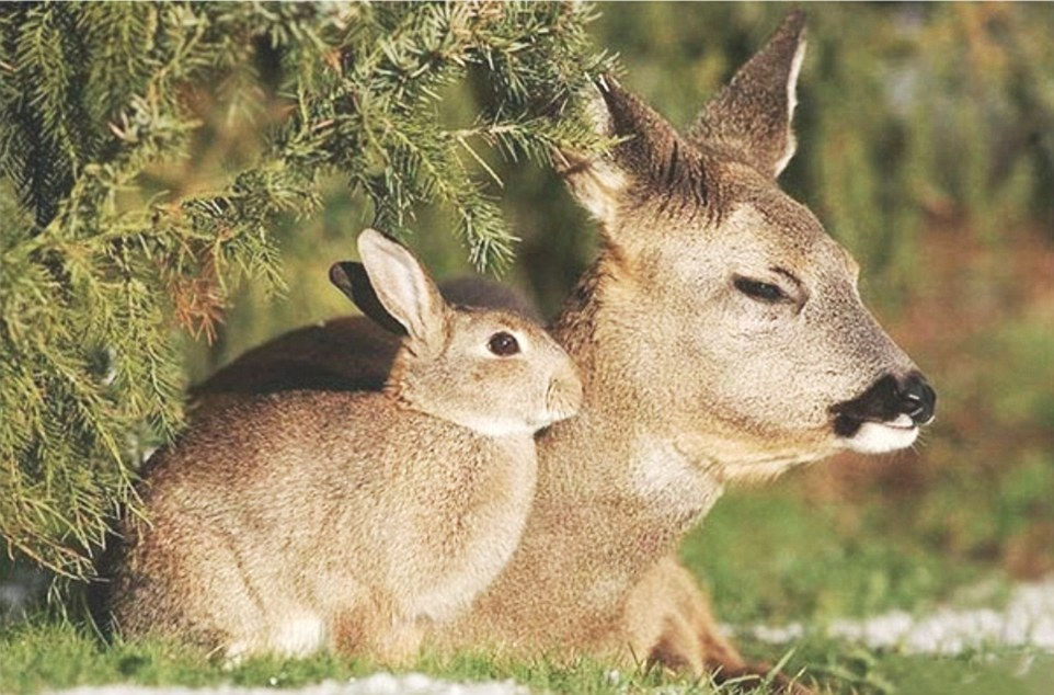 9. Удивительно похожие друг на друга олень и кролик нежатся на солнце.
