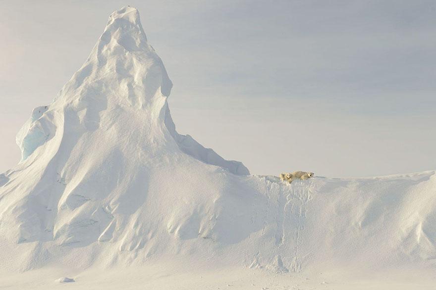 5. Поощрительный приз, номинация «Природа»: «Медведи на айсберге», Нунавут, Канада.