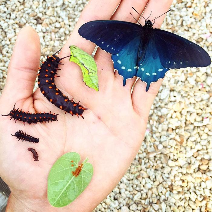 1. Еще совсем недавно бабочка баттус филенор из семейства парусников была на грани исчезновения в Калифорнии, США.
