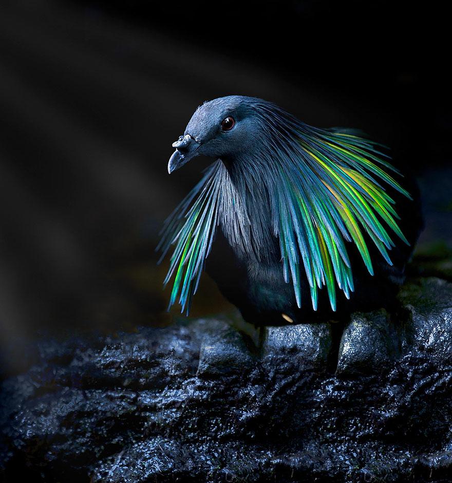 1. Несмотря на то, что гривистый голубь и додо родственники, первый не выглядит как мавританский дронт.