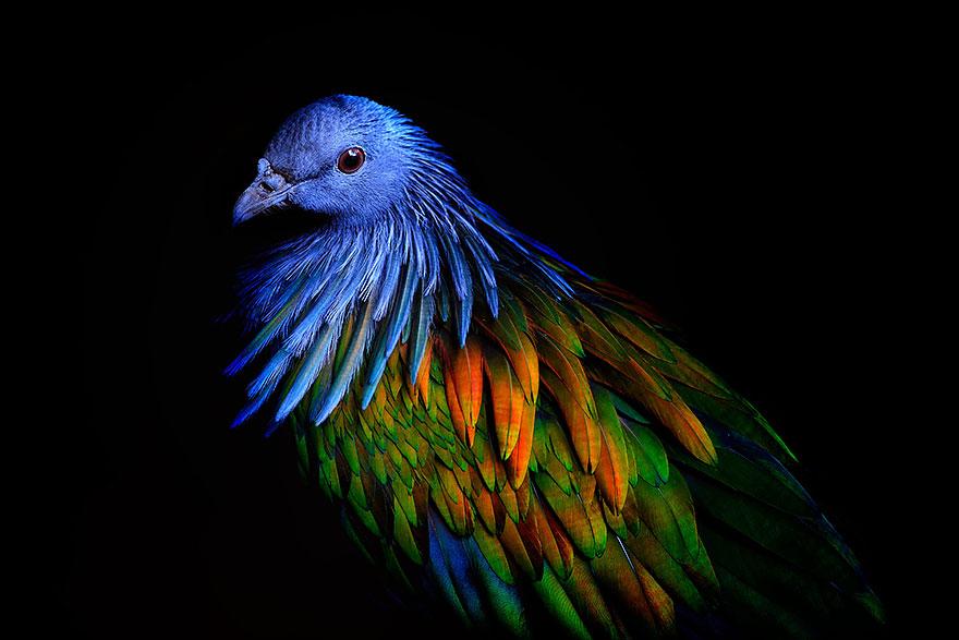 8. На шее характерны заостренные перья, как будто образующие ожерелье или накидку.