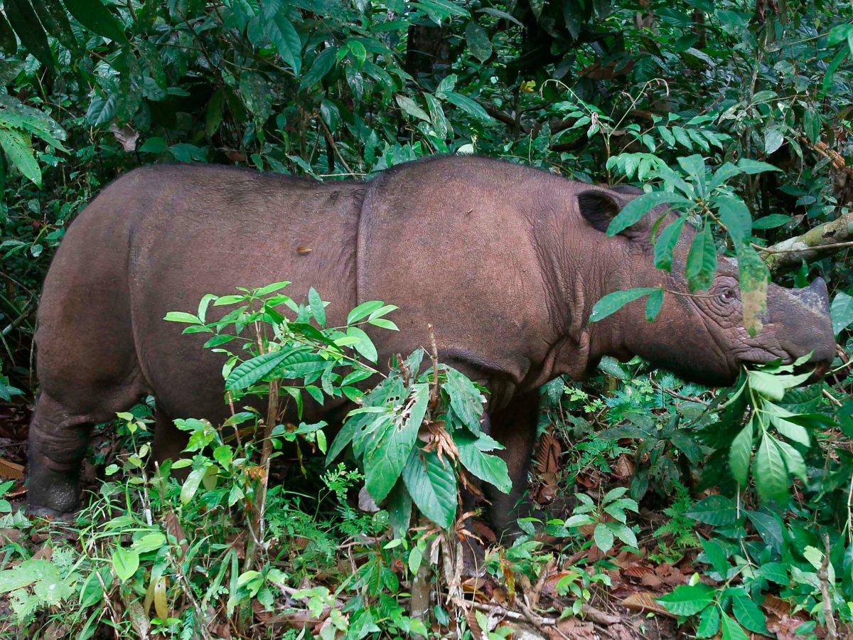 7. Суматранский носорог.