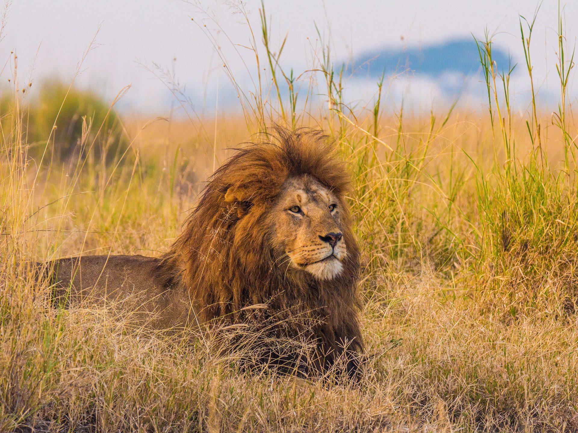 1. Африканские львы – Танзания и Ботсвана.