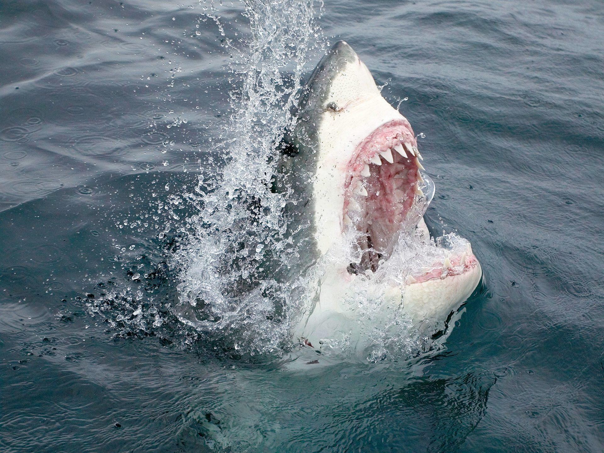 10. Большая белая акула – штат Массачусетс, США.