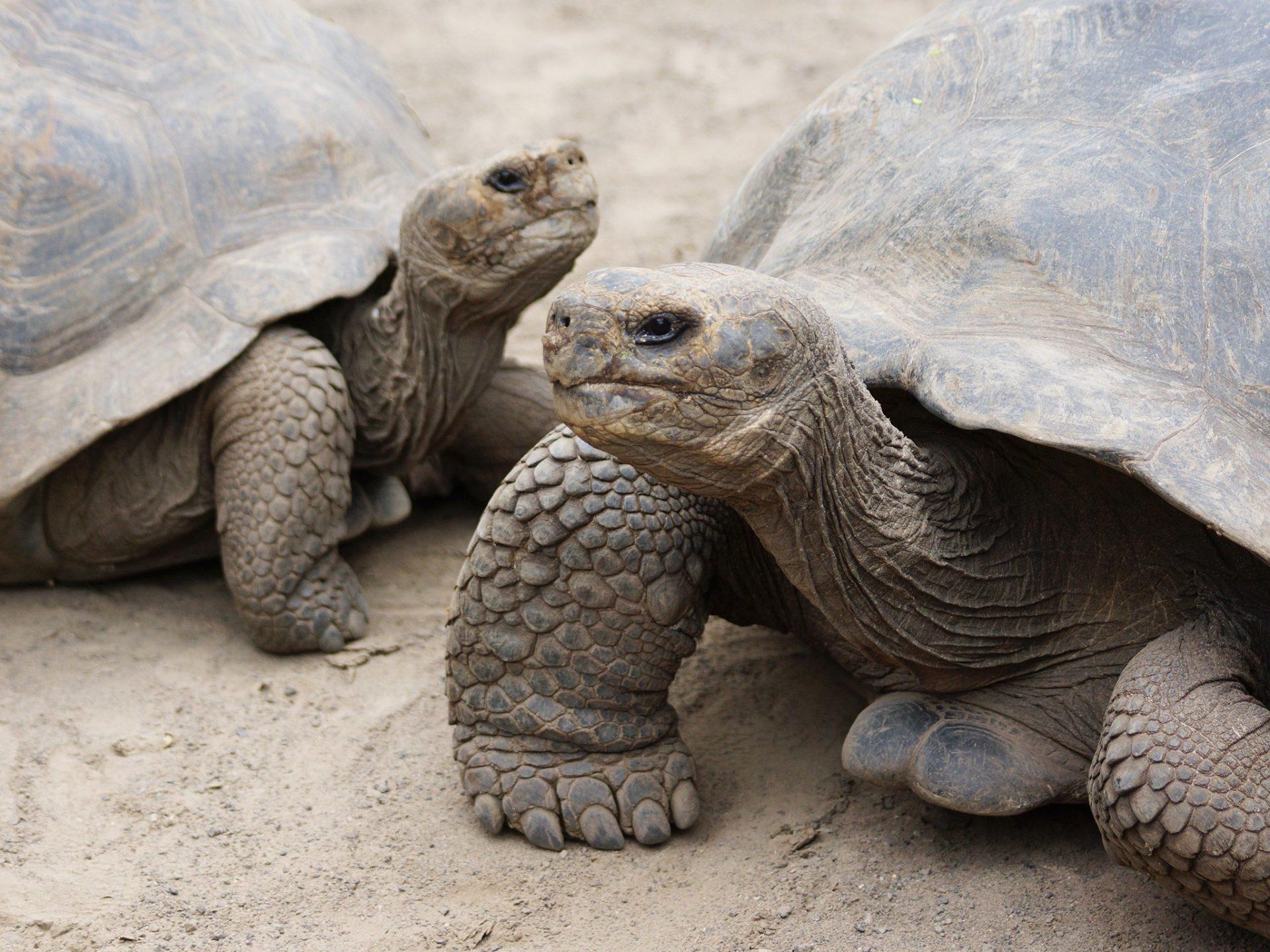 11. Слоновые черепахи – Эквадор.