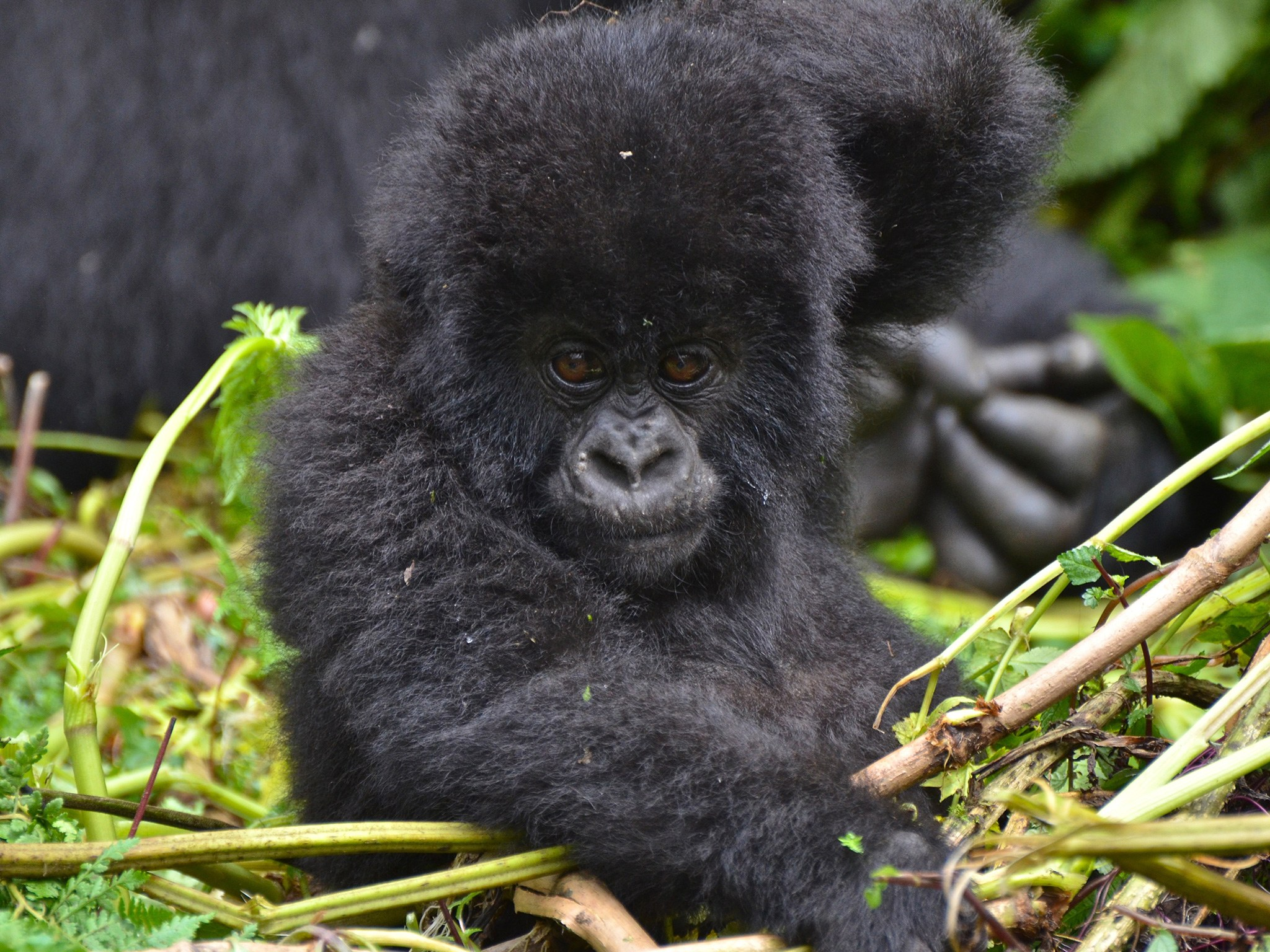 2. Горные гориллы – Руанда.