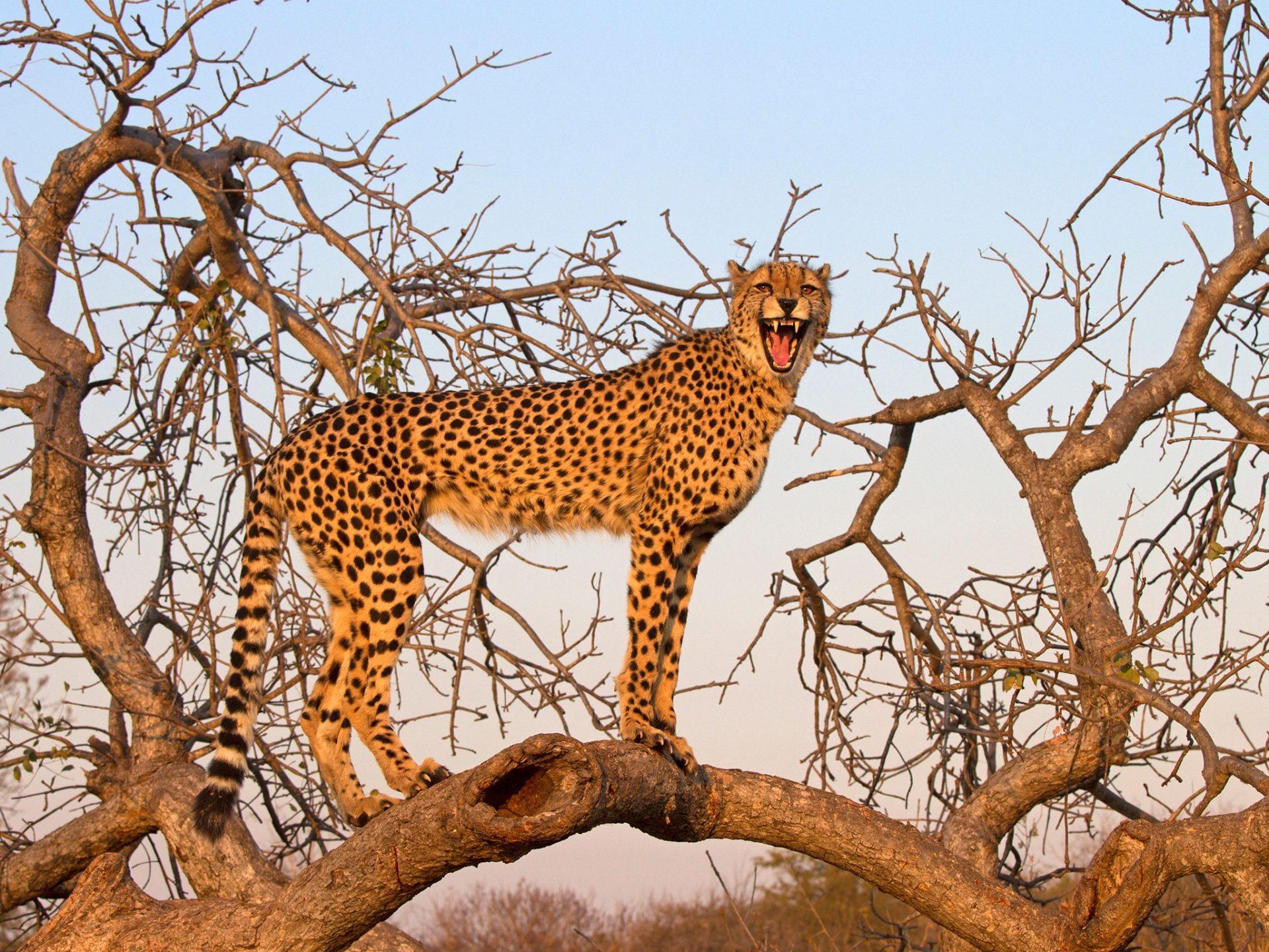 4. Гепарды – Южная Африка.