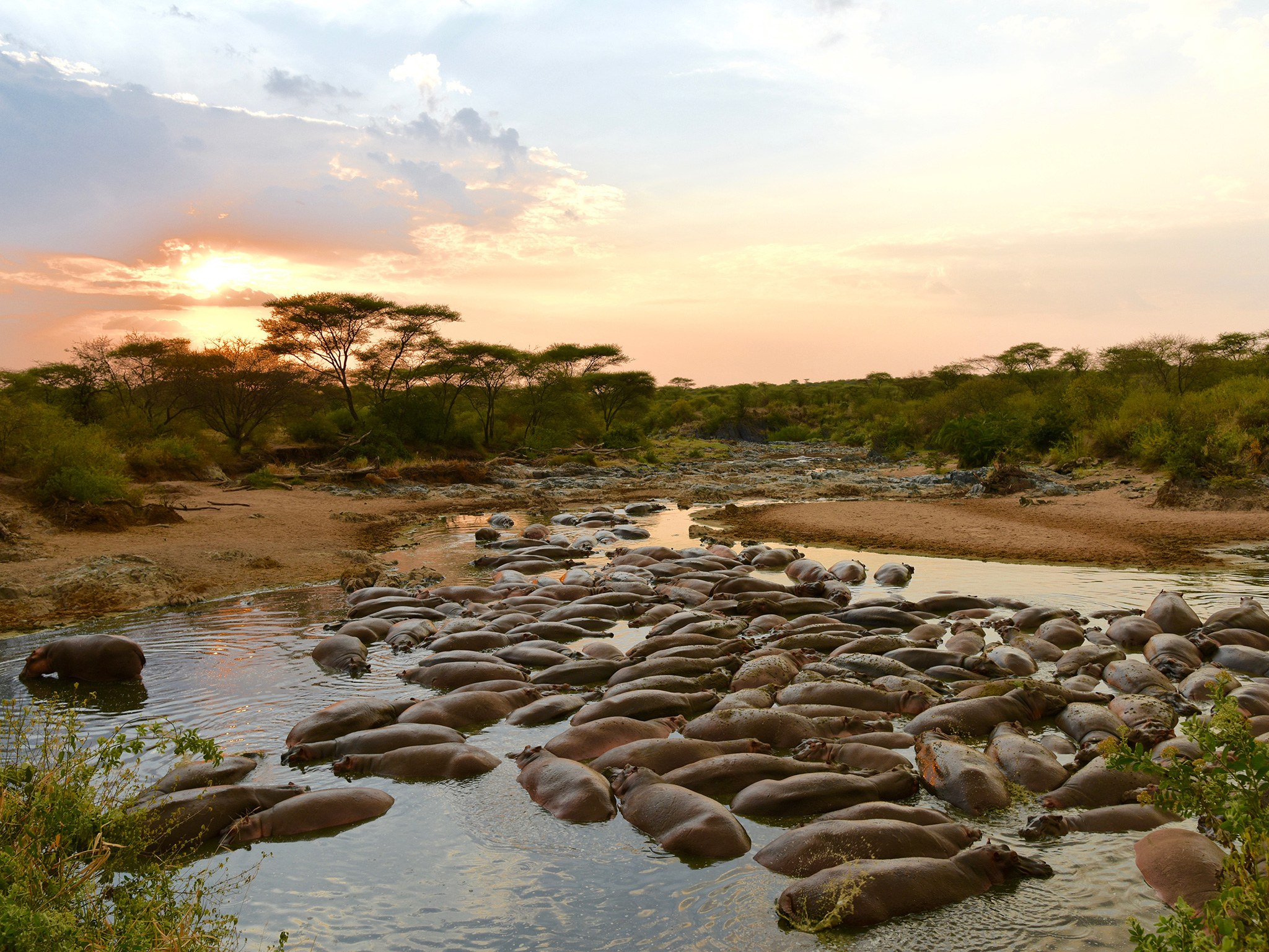 7. Бегемоты – Танзания.