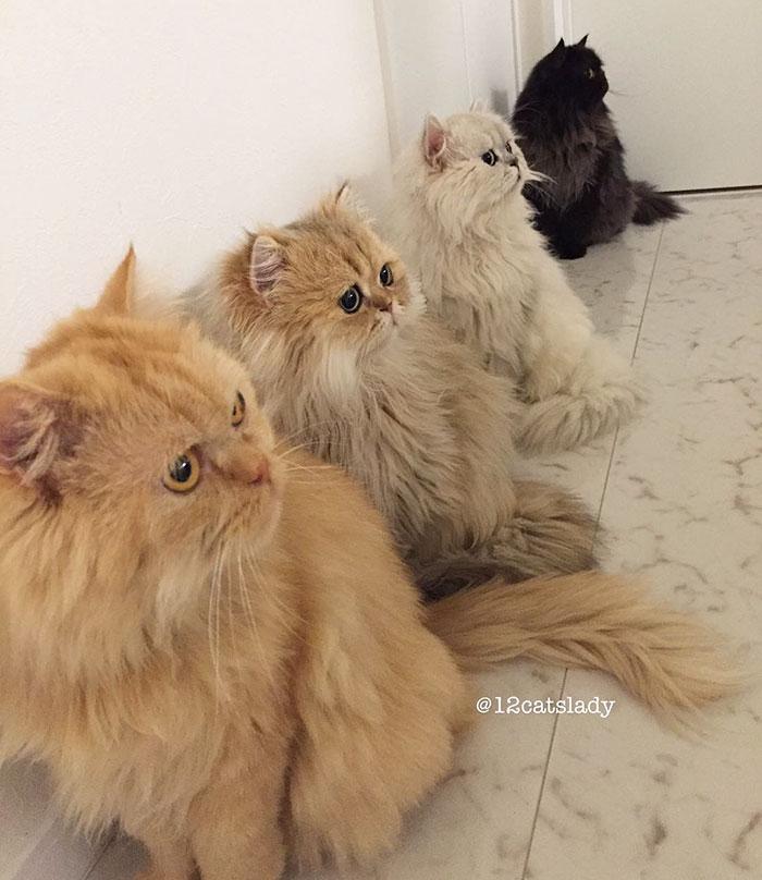 8. После хозяйка Юки решила взять еще двух персидских котов.
