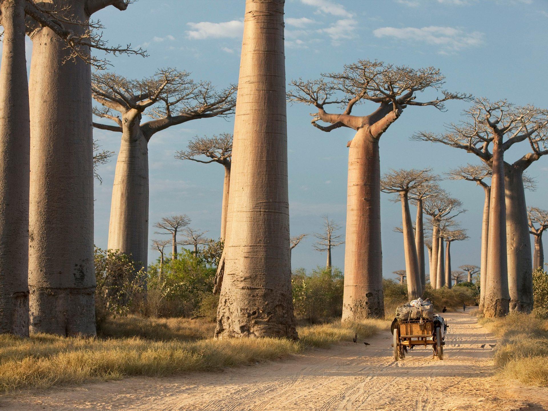 2. Аллея баобабов, Мадагаскар.