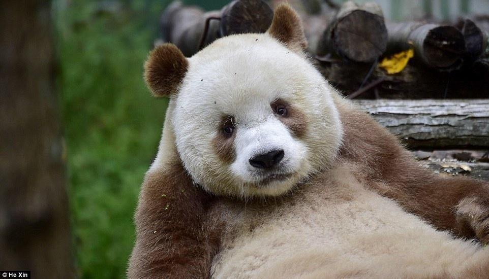 2. Но благодаря людям, он обрел новый дом в Шаньси, в резервации для диких животных.